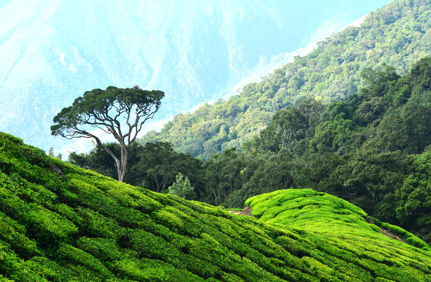 http://www.keralatour.co/images/media/media_images/munnar8.jpg